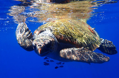 la-pelagic-turtle-ps-fws