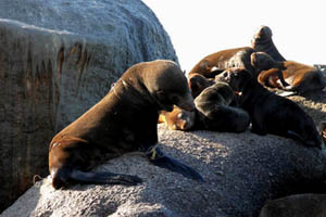 A Cape Fur seal at Partridge Point entangled in fishing line and destined to die a slow painful death